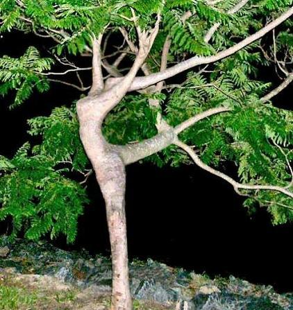 7 tree dance