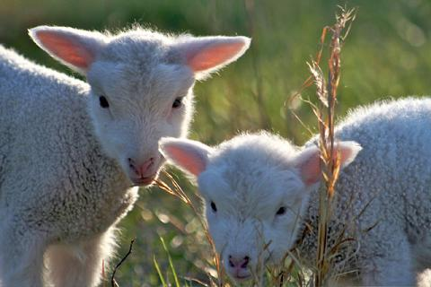 Two-lambs