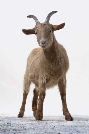 Goat_fit